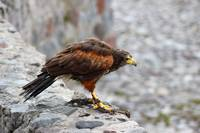 Harris Hawk on a Ledge