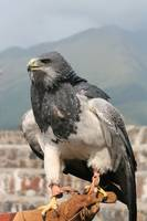 Black Chested Buzzard on a Glove