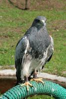 Black Chested Buzzard Eagle on a Perch