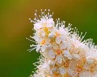 White cluster of Floweres
