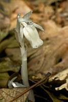 Indian Pipe Wildflower - Monotropa uniflora