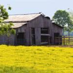 """Barn and Goldenrod"" by BrendaSalyersArt"
