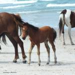 """Assateague Baby"" by Kimmary"