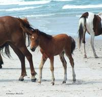 Assateague Baby