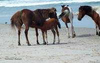 Assateague 6