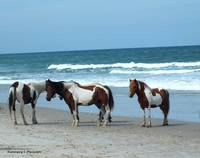 Assateague 5