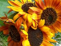 Sunflowers, Summers' Offering