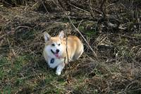 Pembroke Welsh Corgi Hiking