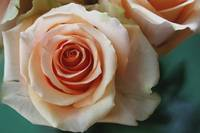 Soft Peach Pastel Rose