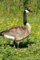 Canada Goose Among Flowers
