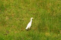 Cattle Egret standing in a Field