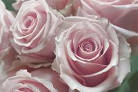 Soft Pink Rose Bouquet Close Up