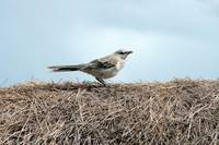 Bird on a Grass Roof