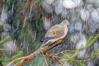 Mourning Dove and Winter Snow
