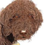 """Chocolate Labradoodle"" by mozache"