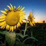 """Sunflower Evening-2"" by robertfrederick"