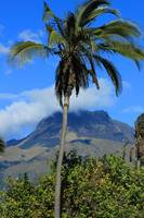 Palm Tree and Mount Imbabura
