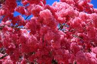 Pink Tree in Bloom