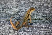Lizard on Concrete