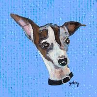 Mia the Italian Greyhound