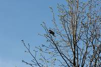 Red Winged Black Bird Perched in a Tree