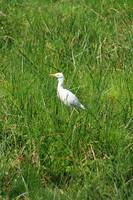 Alert Cattle Egret in a Pasture