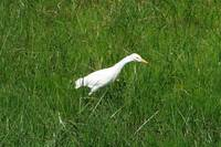 Cattle Egret Walking Through Grass
