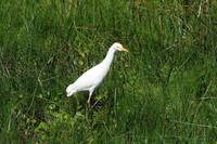 Cattle Egret in Grass
