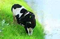 Holstein Cow Beside a Lake