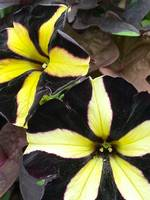 Black and yellow petunias