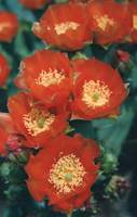 Orange Prickly Pear Cactus Flowers