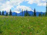Abundance Of Wildflowers - Mount Rainier