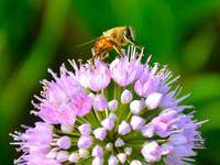 Clover and  Honey Bee
