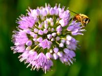Clover Flower and Bee