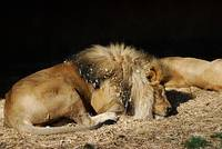 African Lion 20150117_265a