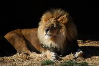 African Lion 20150117_365a
