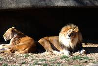African Lions 20150117_362a