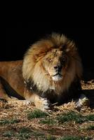 African Lion 20150117_367a