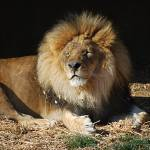 """African Lion 20150117_381a"" by Natureexploration"
