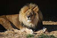 African Lion 20150117_381a