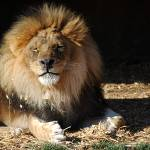 """""""African Lion 20150117_384a"""" by Natureexploration"""