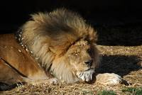 African Lion 20150117_400a