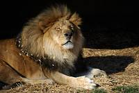 African Lion 20150117_396a