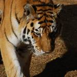"""""""Tiger 20150117_452a"""" by Natureexploration"""