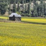 """Old Cabin and Canola"" by SederquistPhotography"