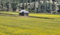 Old Cabin and Canola