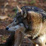 """Red Wolf 20131216_38a"" by Natureexploration"