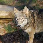 """Red Wolf 20131216_43a"" by Natureexploration"