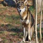 """Red Wolf 20131216_42a"" by Natureexploration"