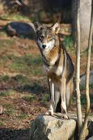 Red Wolf 20131216_42a